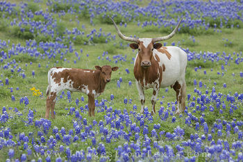 Longhorn and Calf in Bluebonnets 3