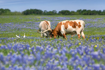 bluebonnet pictures,longhorns in bluebonnets,texas bluebonnets