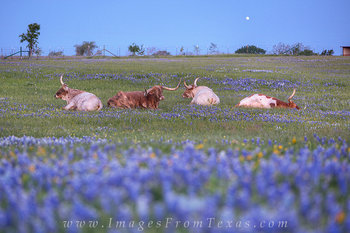 Longhorns and Bluebonnets in Spring
