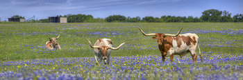 Bluebonnet Panorama,Bluebonnet pano,Bluebonnet pictures,Bluebonnet images,Bluebonnet photos,Texas Wildflowers pictures,Texas Wildflower images,Texas wildflower photos,texas wildflowers,longhorns and b