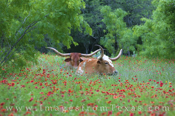 longhorns, wildflowers, texas wildflowers, texas hill country, hill country, firewheels, indian blankets, llano, spring, may