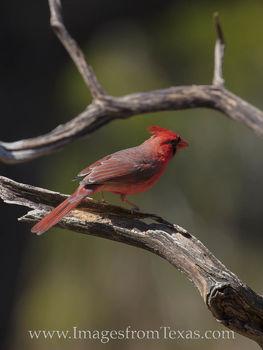 Male Cardinal 12