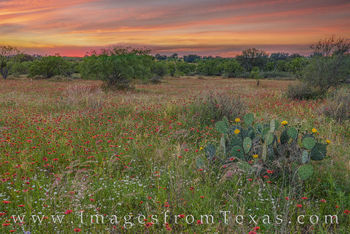 wildflowers, hill country, sunset, indian blankets, firewheels, prickly pear, blooms, texas landscapes, texas beauty