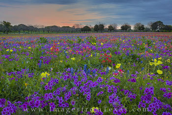 texas wildflower images, texas wildflowers, bluebonnets, phlox, verbena, texas hill country, spring, texas
