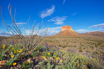Ocotillo and Bluebonnets in Big Bend