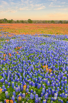 Texas wildflower images,bluebonnets,indian paintbrush,whitehall texas,texas flowers,texas bluebonnets