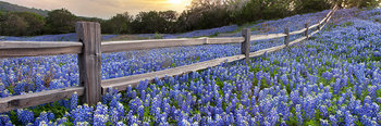 bluebonnets,bluebonnet images,bluebonnet pano,texas wildflowers,texas wildflower prints