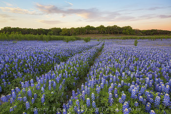 bluebonnets,bluebonnet prints,texas wildflower photos,texas hill country,texas landscapes