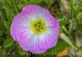 Pink Primrose of Spring 415-1