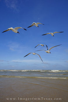 Port Aransas Gulls 1