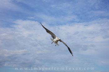seagull, Port Aransas, Port A, texas coast, mustang island, texas gulf coast, seagull images