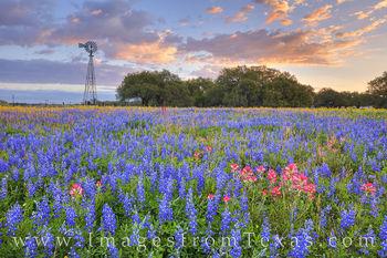 Poteet Wildflowers at Sunrise 319-2
