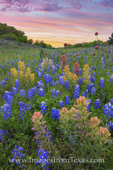 bluebonnets, prarie paintbrush, wildflowers, hill country, wildflowers prints, bluebonnet prints, sunset, spring
