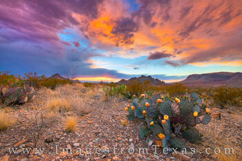 Big Bend National Park,Texas wildflowers,Chisos Mountains,Big Bend Prints,Chihuahuan Desert,prickly pear cactus,prickly pear blooms,texas sunset,texas landscape