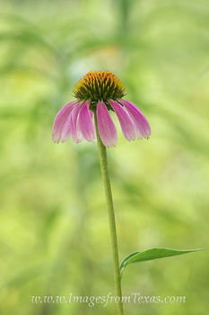 texas wildflowers,texas wildflower prints,wildflower photos,purple coneflower