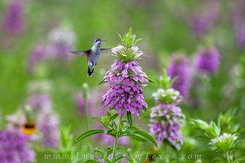 Purple Horsemint and a Hummingbird
