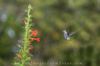 Red Texas Sage and a Hummingbird