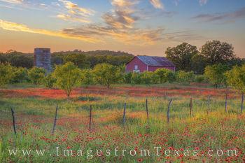 Red Texas Wildflower Evening 2