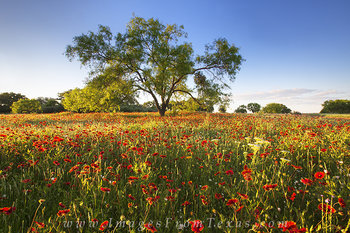 texas wildflower prints,texas wildflower images,texas hill country pictures,hill country prints,red wildflowers,texas landscapes