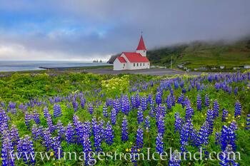 Reyniskirkja Church and Lupine in Vik, Iceland 1