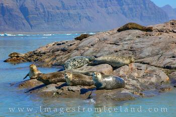 Seals of Jökulsárlón Bay 1