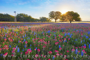 bluebonnets, sunrise, paintbrush, poteet, Atascosa county, south texas, wildflowers, ranch, spring, march, morning, windmill