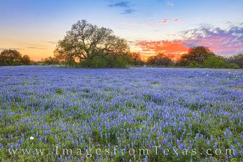 South Texas Bluebonnet Sunset 318-1