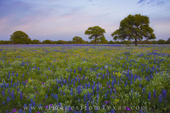 South Texas Wildflowers 1