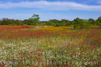 wildflowers, indian blankets, hill country, mason, spring, afternoon, color, beautiful