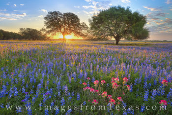 wildflowers, bluebonnets, paintbrush, sunrise, morning, texas wildflowers, rural, wildflower prints, best wildflower photos, best bluebonnets
