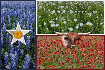 texas wildflowers,texas bluebonnets