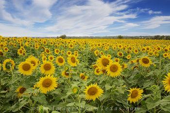 Summer Sunflowers in Texas 1