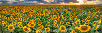 Texas Wildflower Images,Texas Wildflower pictures,Texas Wildflower Panorama,sunflower images,sunflower pictures,texas wildflowers,fields of sunflowers,sunflower photos,texas wildflower photos,bluebonn