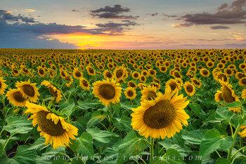 A Field of Golden Texas Sunflowers
