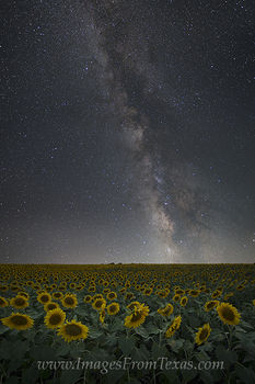 Sunflowers under the Milky Way