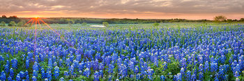 bluebonnet panorama,bluebonnet prints,texas wildflowers,wildflower prints,texas bluebonnets