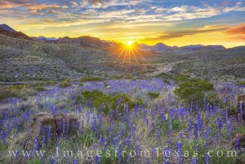 Bluebonnets, big bend, big bend bluebonnets, spring, 2019, mule ears, big bend national park, Texas national parks, desert bloom, Texas wildflowers, west Texas, desert wildflowers, chisos mountains, c