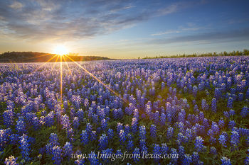texas wildflowers,bluebonnets,texas spring,texas sunset,bluebonnet prints,wildflower prints