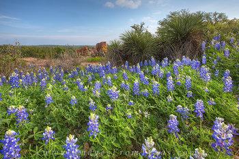 Texas Bluebonnet Landscape 1