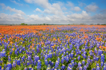 texas wildflowers,bluebonnets,indian paintbrush,whitehall texas,springtime in texas