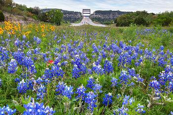 Texas Bluebonnets and the 360 Bridge