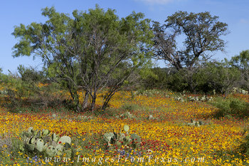 Texas Hill Country Afternoon Wildflowers