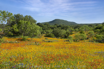 texas wildflower pictures,texas hill country wildflowers,texas wildflowers,bluebonnets,coreopsis