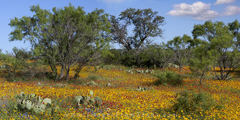 texas hill country,texas wildflowers,wildflower panorama