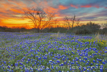 bluebonnets, sunset, texas wildflowers, hill country, orange, blue, mason, llano, Farm to market, backroads