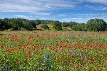 Hill Country Firewheels and Bluebonnets