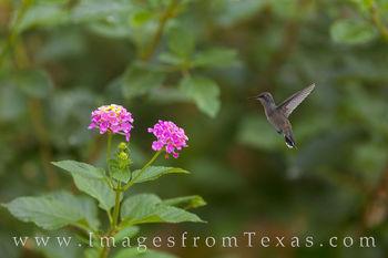 Texas Hummingbird and Lantana 805-1