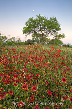 texas wildflowers,texas landscapes,texas hill country photos,texas wildflower photos,red wildflowers,texas images