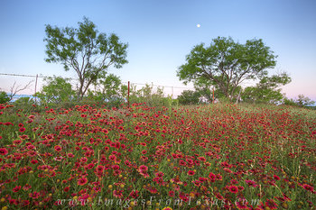Texas Moon over Red Wildflowers 2