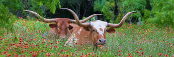 texas wildflowers,longhorns,longhorns in wildflowers,wildflower photos,wildflower panorama